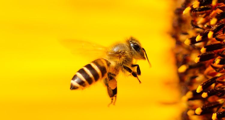 Biene vor einer Blüte.